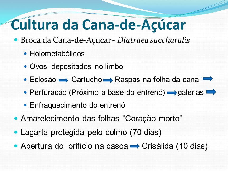 Broca da Cana-de-Açucar - Diatraea saccharalis Holometabólicos Ovos depositados no limbo Eclosão Cartucho Raspas na folha da cana Perfuração (Próximo