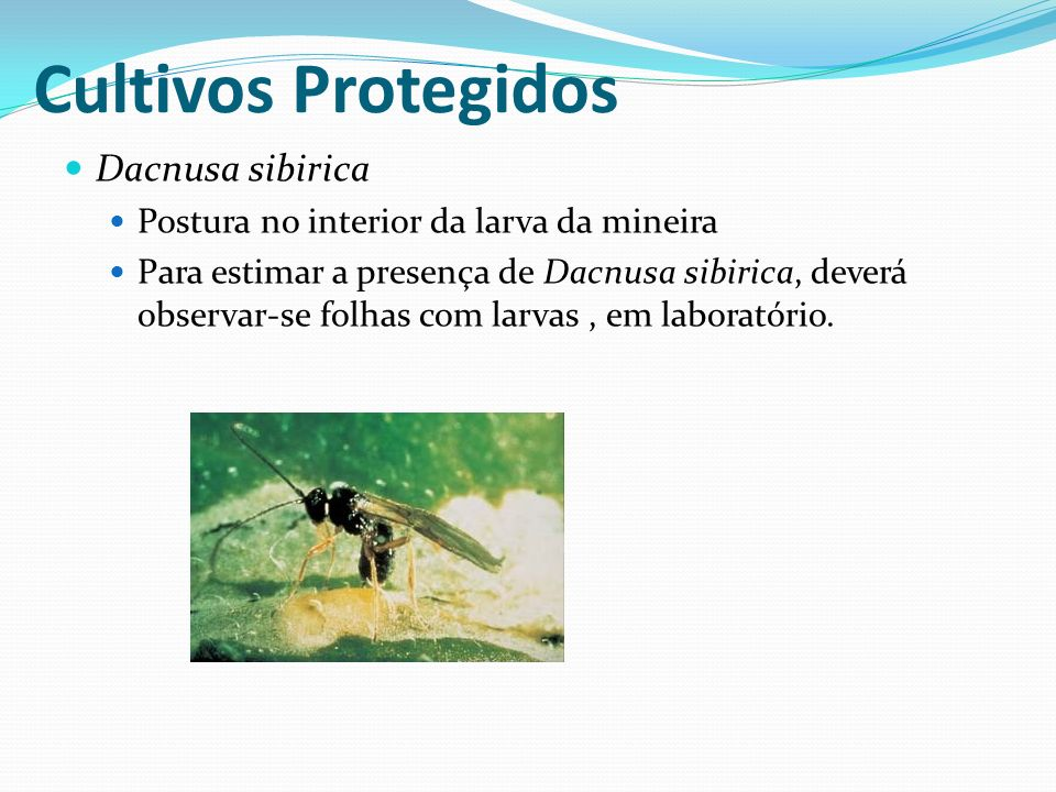 Dacnusa sibirica Postura no interior da larva da mineira Para estimar a presença de Dacnusa sibirica, deverá observar-se folhas com larvas, em laborat