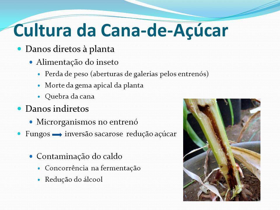 Danos diretos à planta Alimentação do inseto Perda de peso (aberturas de galerias pelos entrenós) Morte da gema apical da planta Quebra da cana Danos