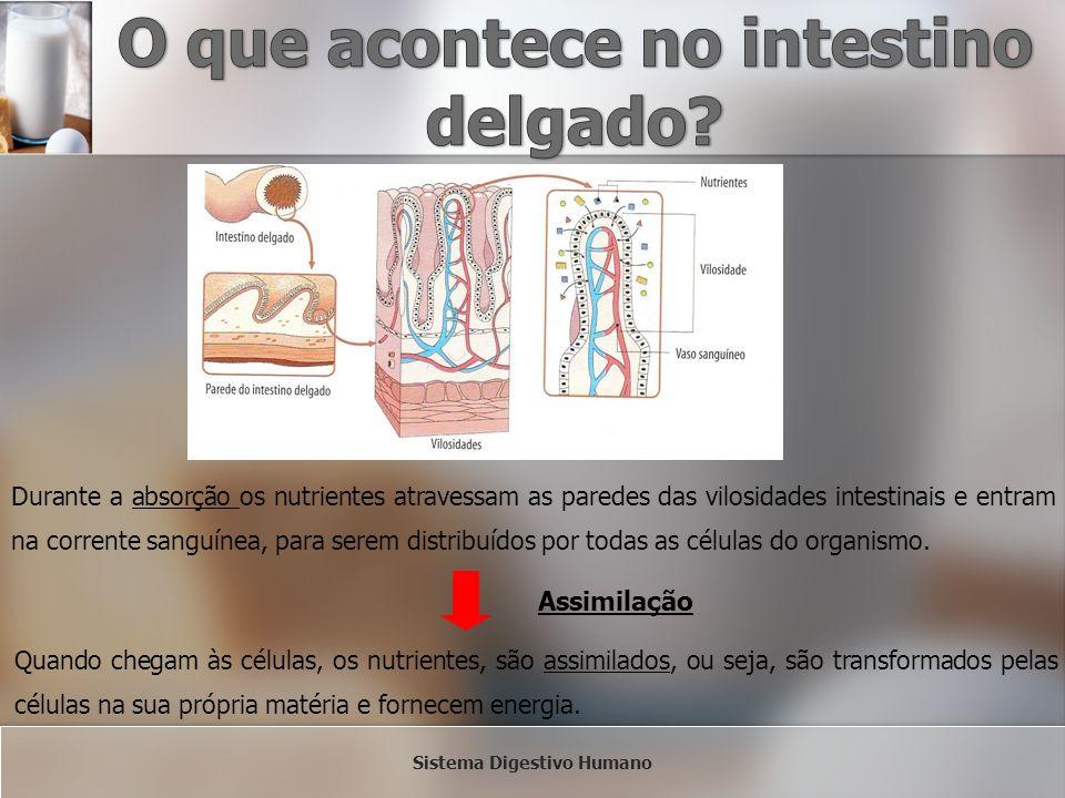 Durante a absorção os nutrientes atravessam as paredes das vilosidades intestinais e entram na corrente sanguínea, para serem distribuídos por todas a