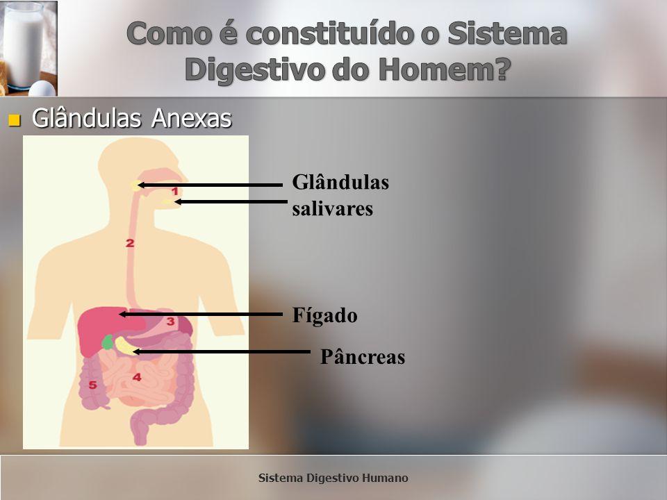 Glândulas Anexas Glândulas Anexas Glândulas salivares Fígado Pâncreas Sistema Digestivo Humano