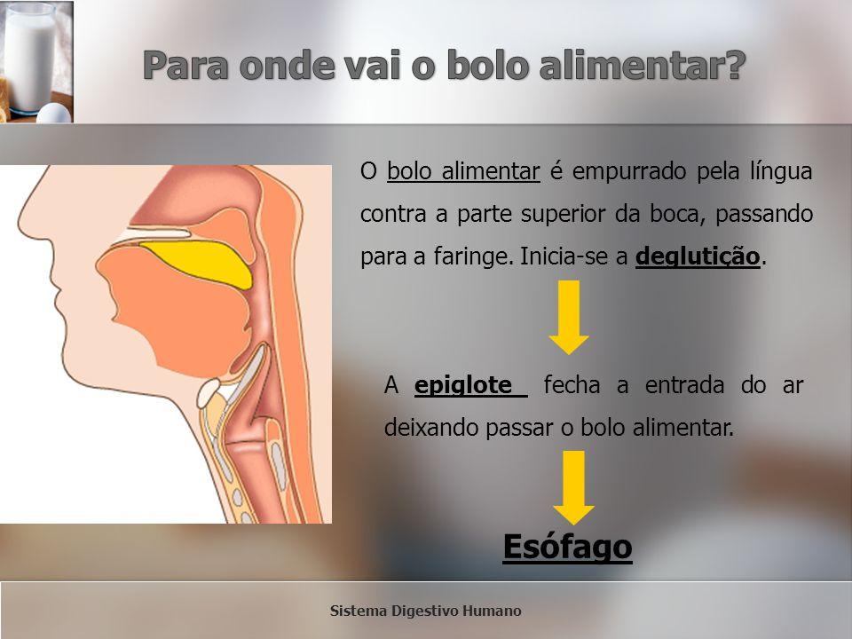O bolo alimentar é empurrado pela língua contra a parte superior da boca, passando para a faringe. Inicia-se a deglutição. A epiglote fecha a entrada