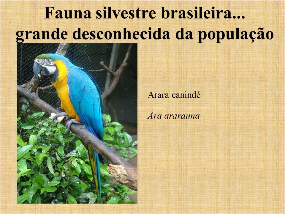 Fauna silvestre brasileira... grande desconhecida da população Arara canindé Ara ararauna