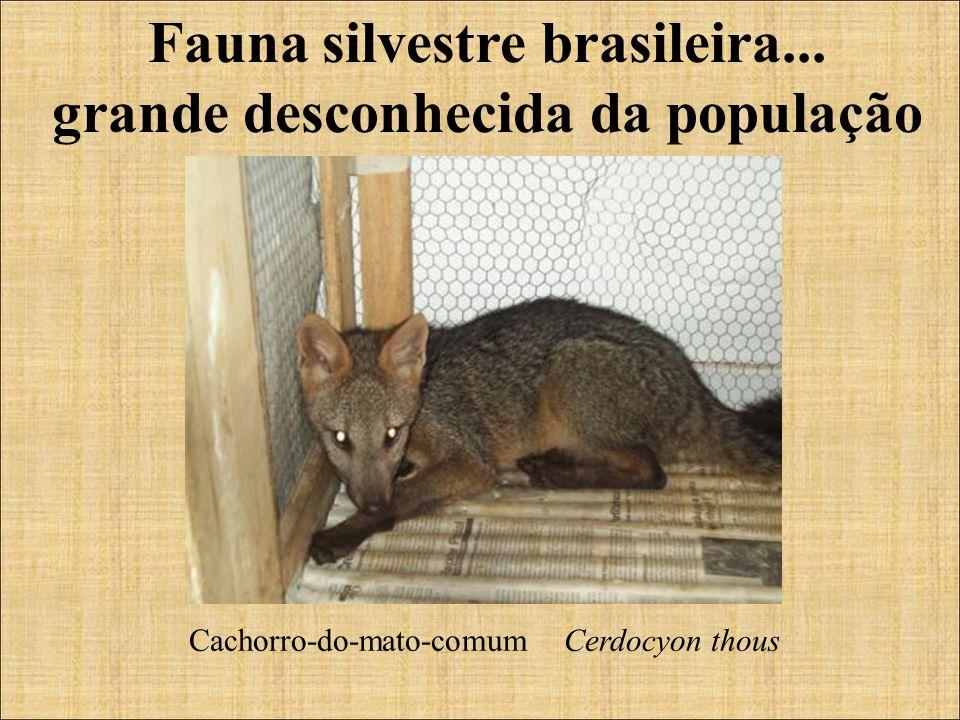 Fauna silvestre brasileira... grande desconhecida da população Cachorro-do-mato-comum Cerdocyon thous