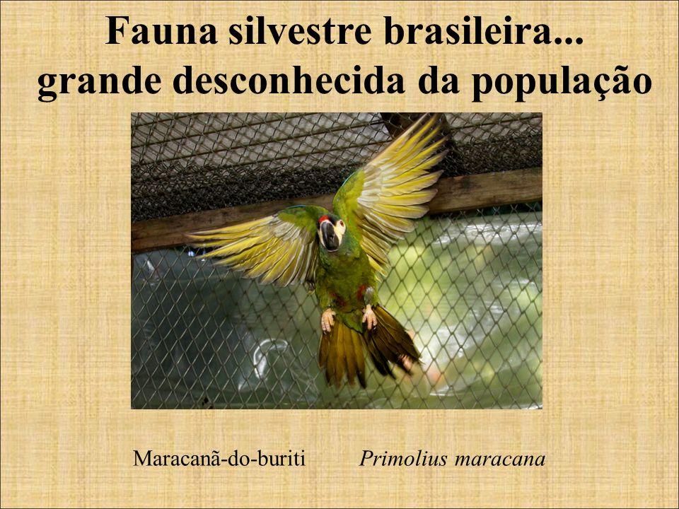 Fauna silvestre brasileira... grande desconhecida da população Maracanã-do-buriti Primolius maracana