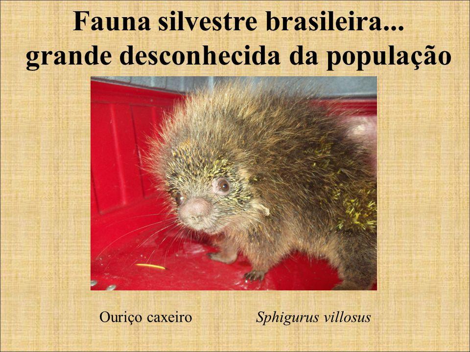 Fauna silvestre brasileira... grande desconhecida da população Ouriço caxeiro Sphigurus villosus