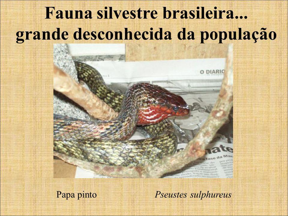 Fauna silvestre brasileira... grande desconhecida da população Papa pinto Pseustes sulphureus