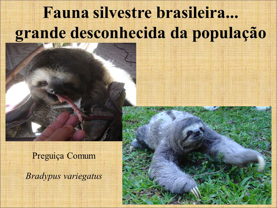 Fauna silvestre brasileira... grande desconhecida da população Preguiça Comum Bradypus variegatus