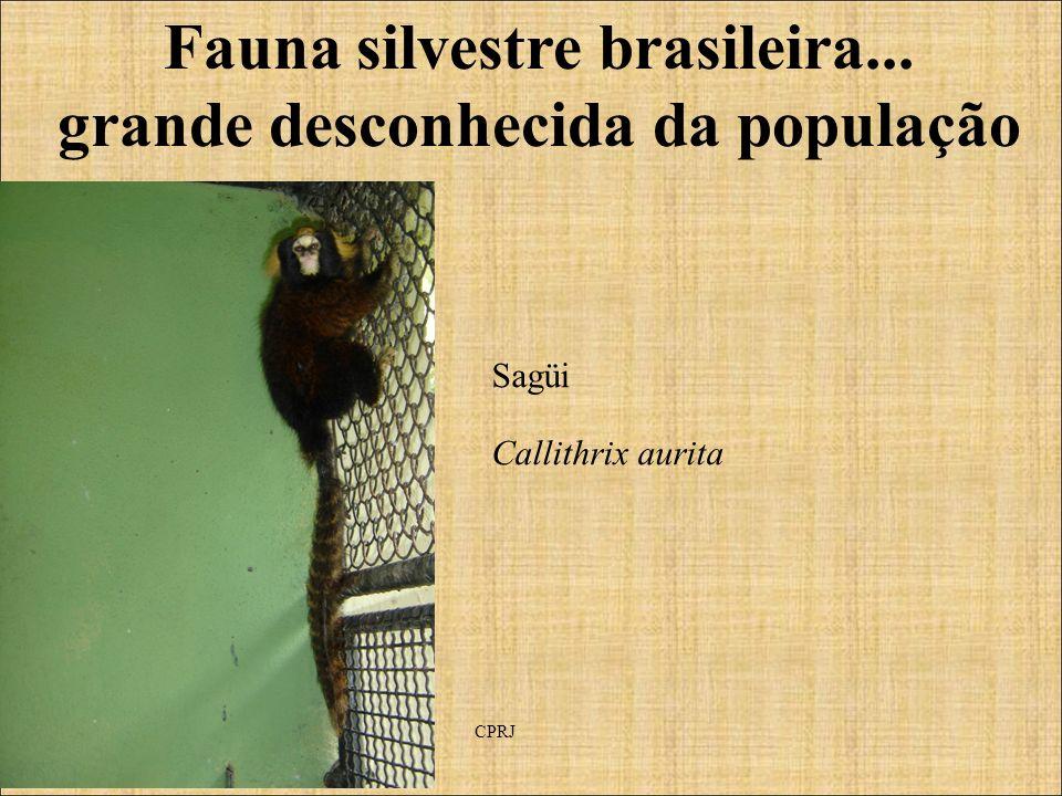 Fauna silvestre brasileira... grande desconhecida da população Sagüi Callithrix aurita CPRJ