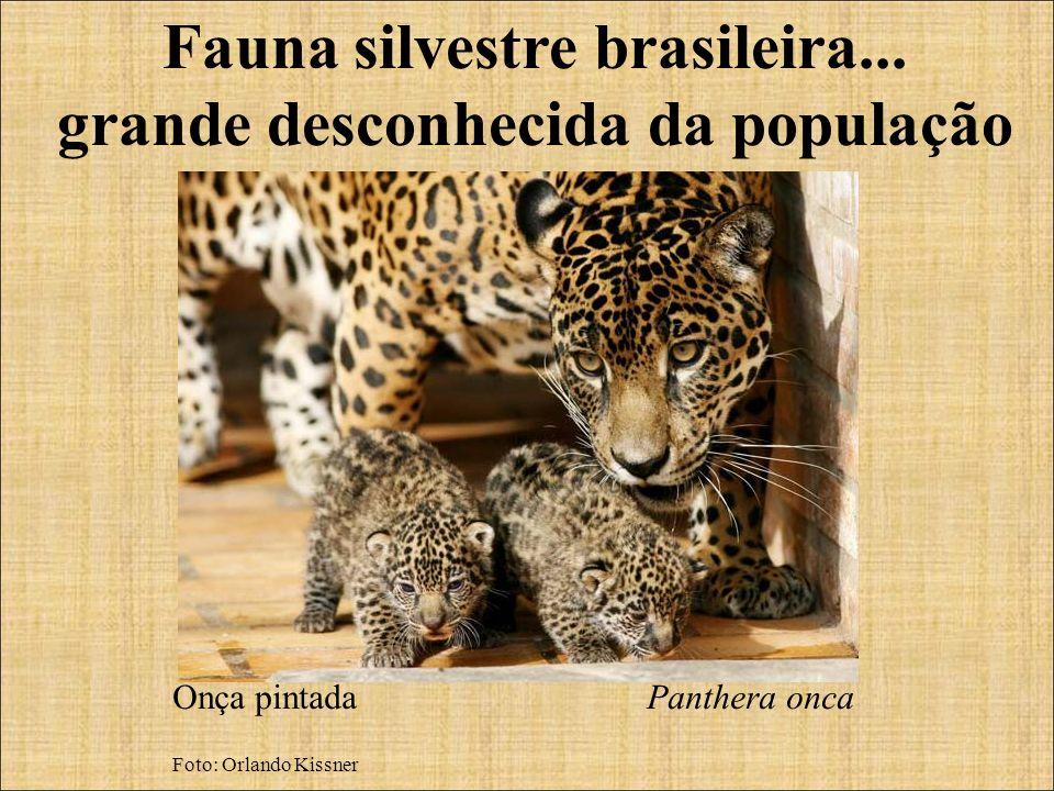 Fauna silvestre brasileira... grande desconhecida da população Onça pintada Panthera onca Foto: Orlando Kissner