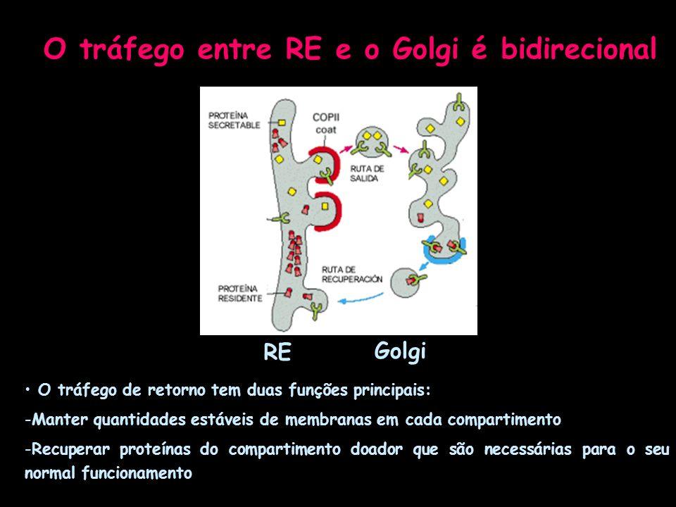 O tráfego de retorno tem duas funções principais: -Manter quantidades estáveis de membranas em cada compartimento -Recuperar proteínas do compartiment
