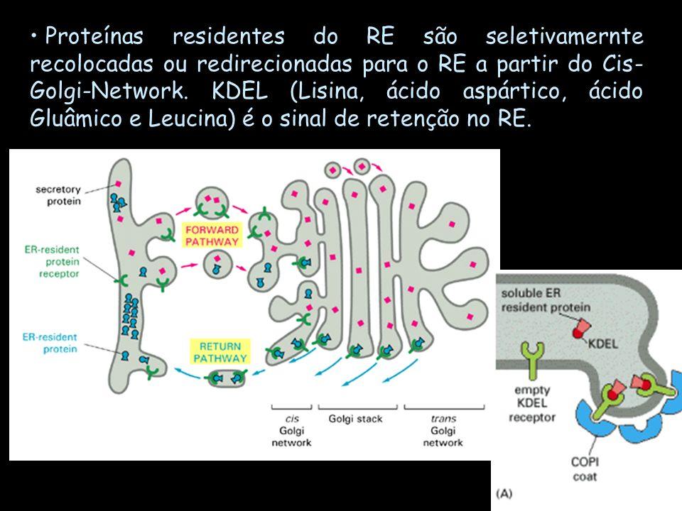 Proteínas residentes do RE são seletivamernte recolocadas ou redirecionadas para o RE a partir do Cis- Golgi-Network. KDEL (Lisina, ácido aspártico, á