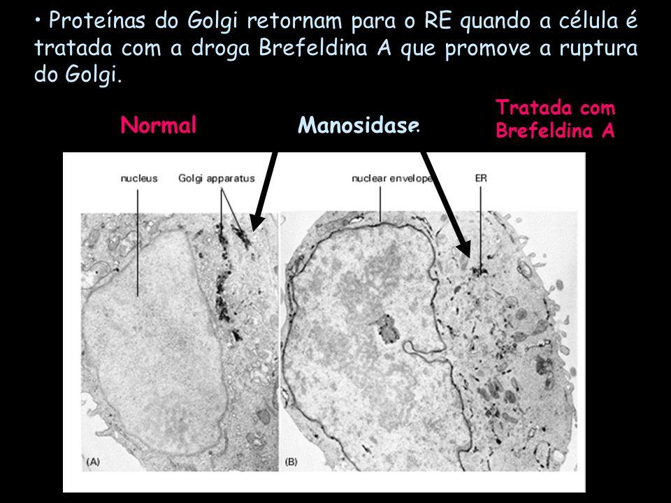 Proteínas do Golgi retornam para o RE quando a célula é tratada com a droga Brefeldina A que promove a ruptura do Golgi. ManosidaseNormal Tratada com