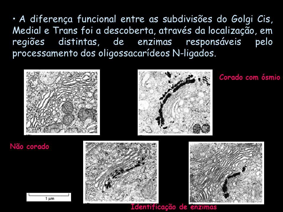 A diferença funcional entre as subdivisões do Golgi Cis, Medial e Trans foi a descoberta, através da localização, em regiões distintas, de enzimas res