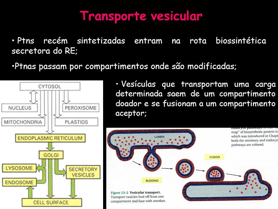 Transporte vesicular Ptns recém sintetizadas entram na rota biossintética secretora do RE; Ptnas passam por compartimentos onde são modificadas; Vesíc