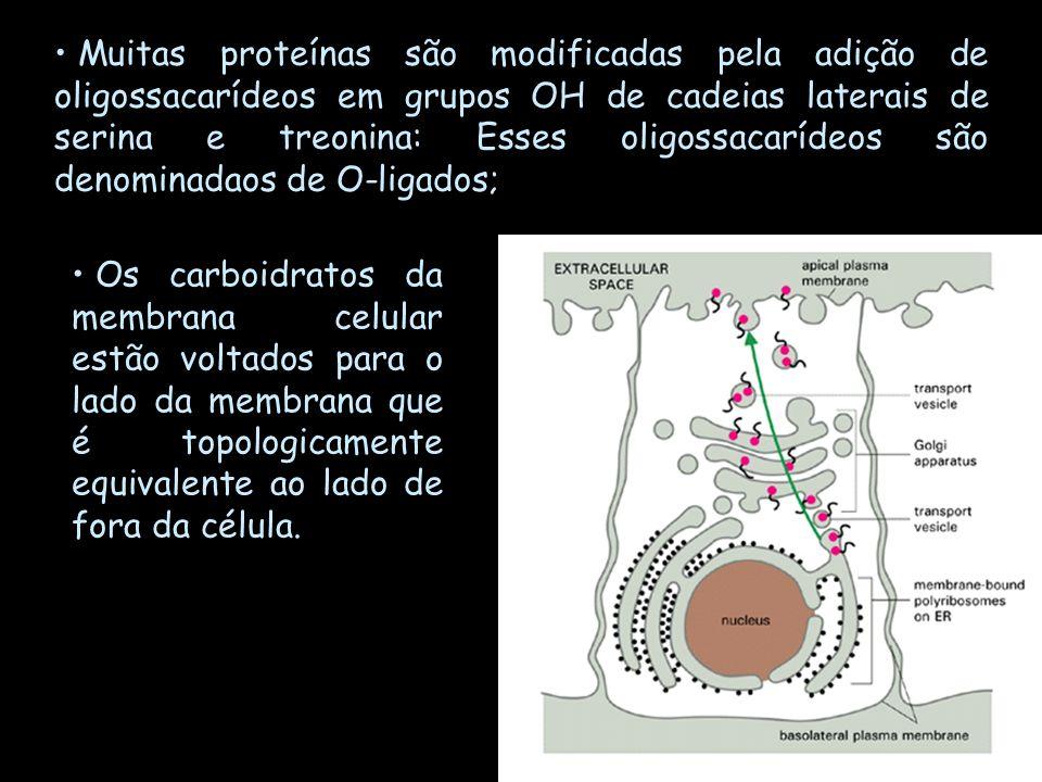 Muitas proteínas são modificadas pela adição de oligossacarídeos em grupos OH de cadeias laterais de serina e treonina: Esses oligossacarídeos são den