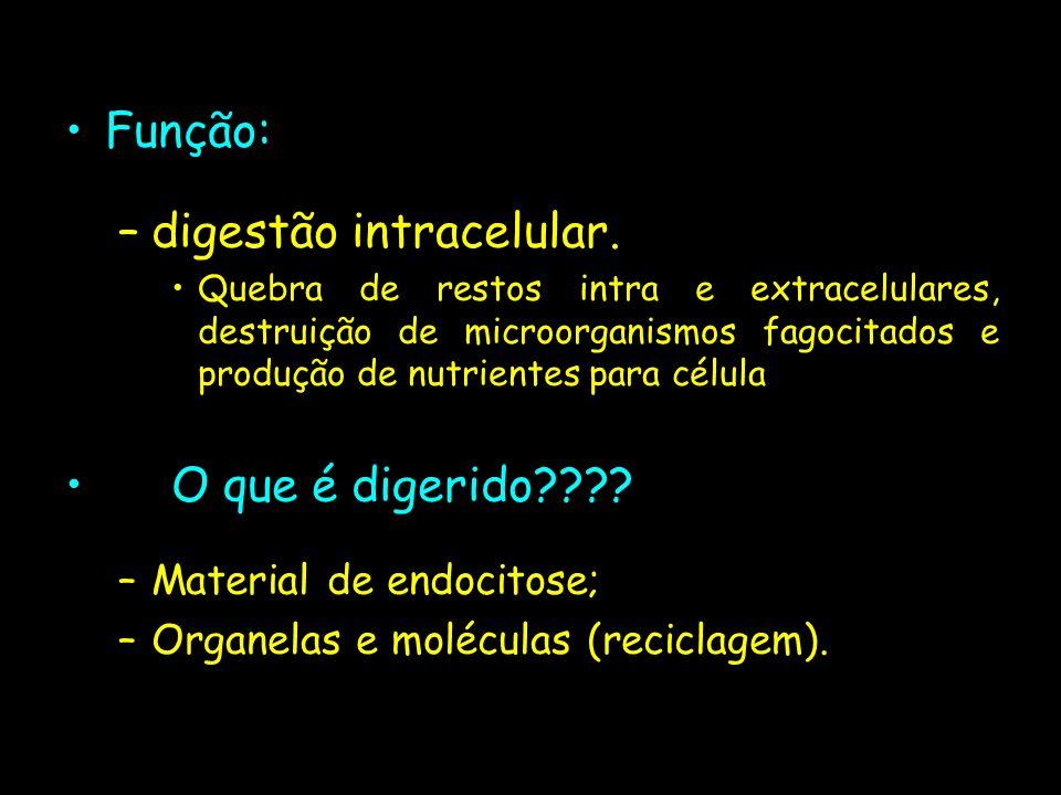 Função: –digestão intracelular. Quebra de restos intra e extracelulares, destruição de microorganismos fagocitados e produção de nutrientes para célul