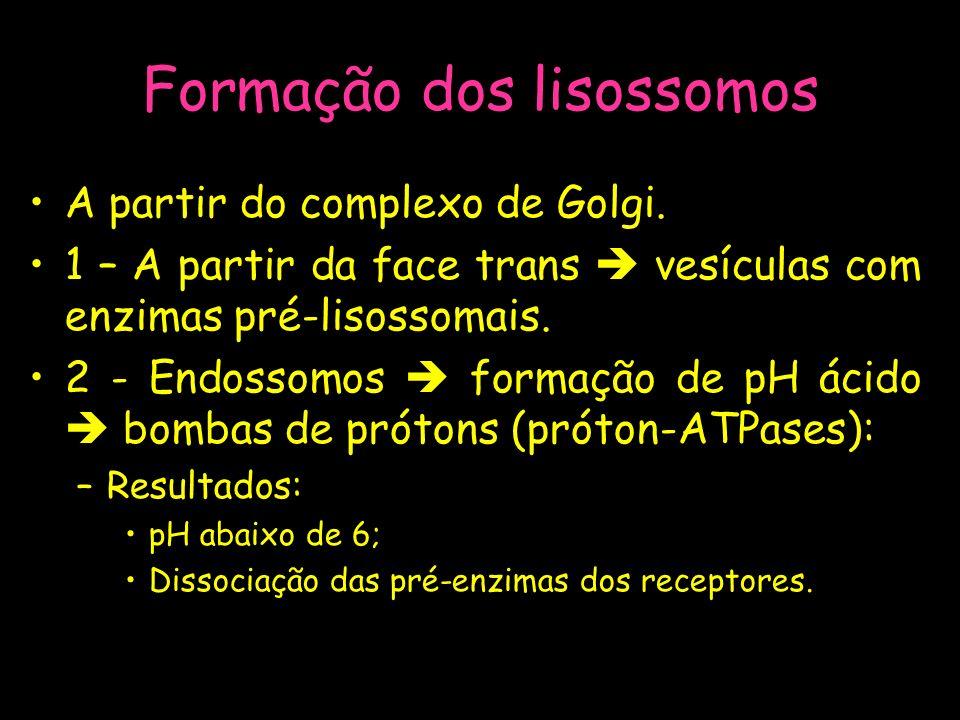 Formação dos lisossomos A partir do complexo de Golgi. 1 – A partir da face trans vesículas com enzimas pré-lisossomais. 2 - Endossomos formação de pH