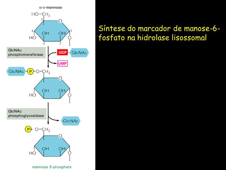 Síntese do marcador de manose-6- fosfato na hidrolase lisossomal