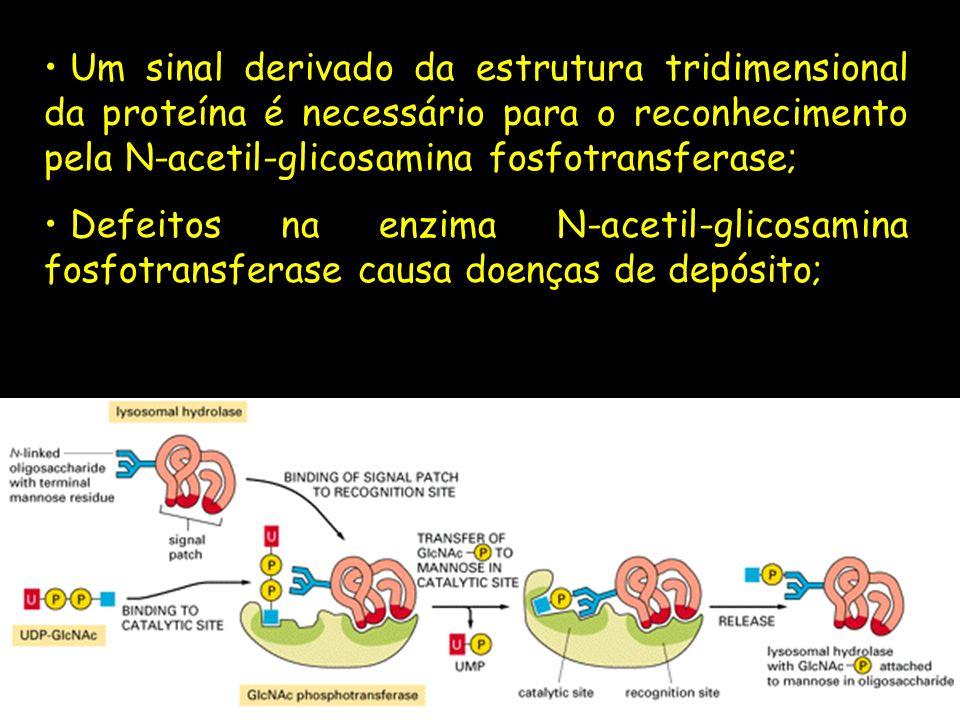 Um sinal derivado da estrutura tridimensional da proteína é necessário para o reconhecimento pela N-acetil-glicosamina fosfotransferase; Defeitos na e
