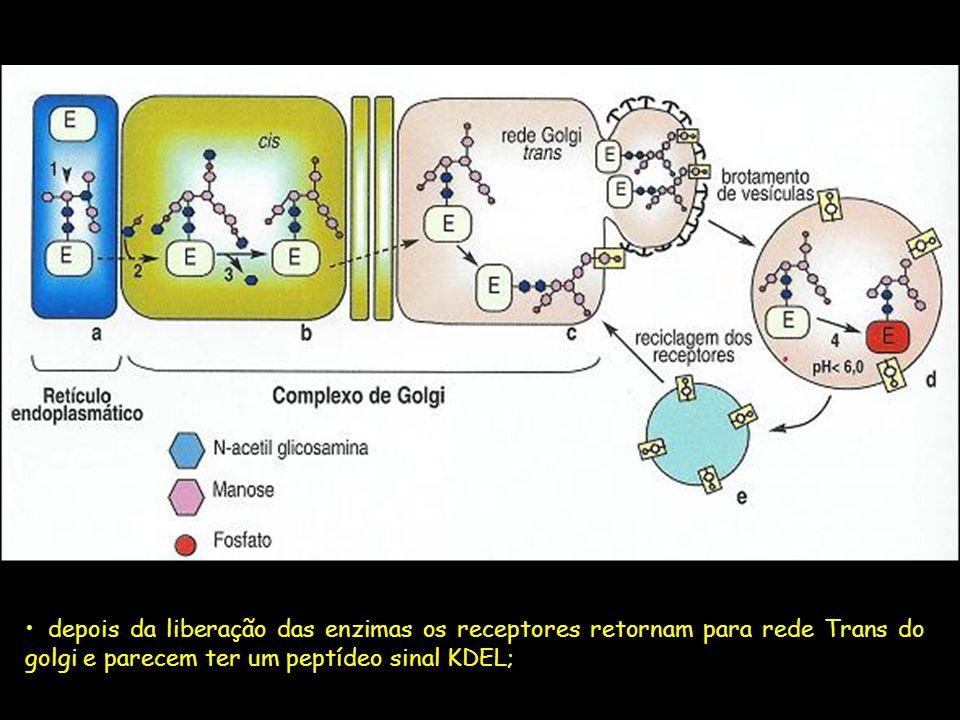 depois da liberação das enzimas os receptores retornam para rede Trans do golgi e parecem ter um peptídeo sinal KDEL;