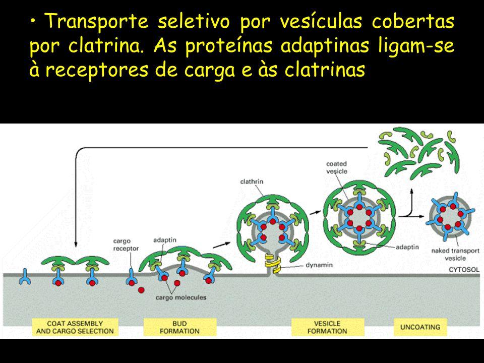Transporte seletivo por vesículas cobertas por clatrina. As proteínas adaptinas ligam-se à receptores de carga e às clatrinas