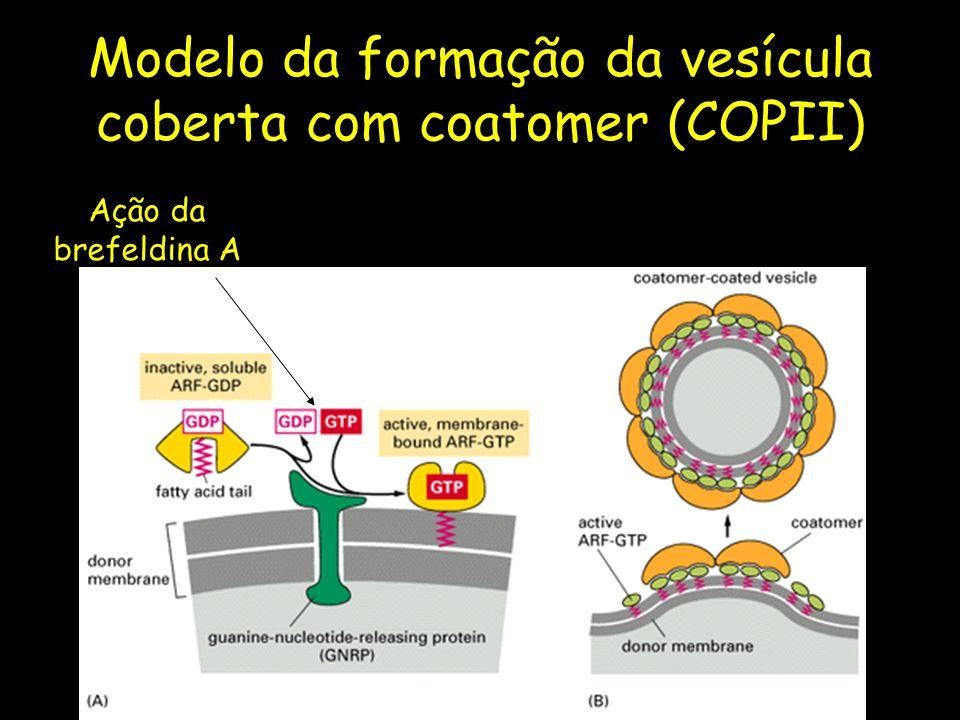 Modelo da formação da vesícula coberta com coatomer (COPII) Ação da brefeldina A