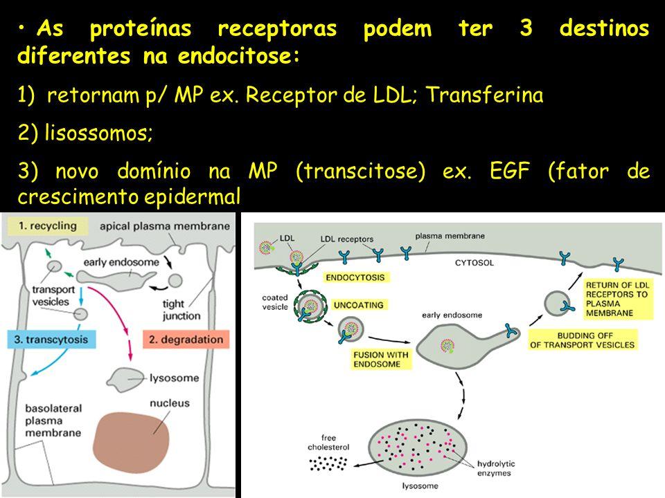 As proteínas receptoras podem ter 3 destinos diferentes na endocitose: 1) retornam p/ MP ex. Receptor de LDL; Transferina 2) lisossomos; 3) novo domín