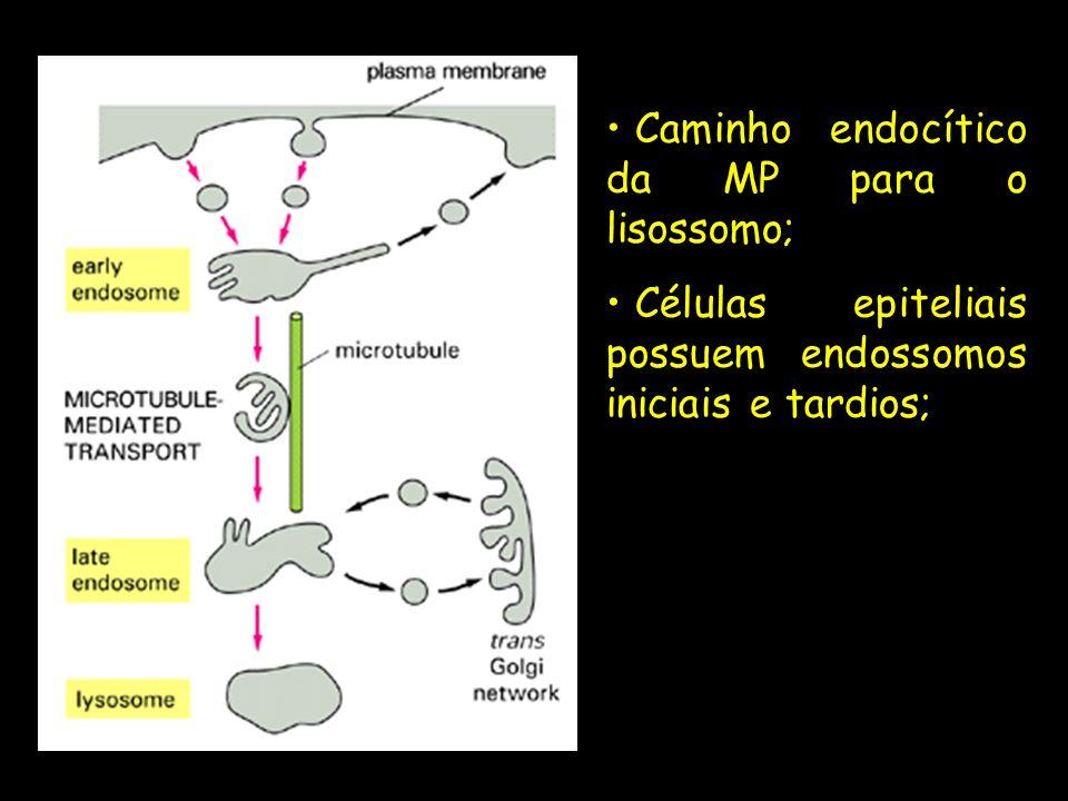 Caminho endocítico da MP para o lisossomo; Células epiteliais possuem endossomos iniciais e tardios;
