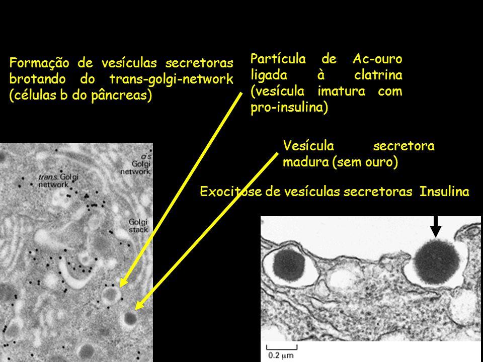 Formação de vesículas secretoras brotando do trans-golgi-network (células b do pâncreas) Exocitose de vesículas secretorasInsulina Partícula de Ac-our