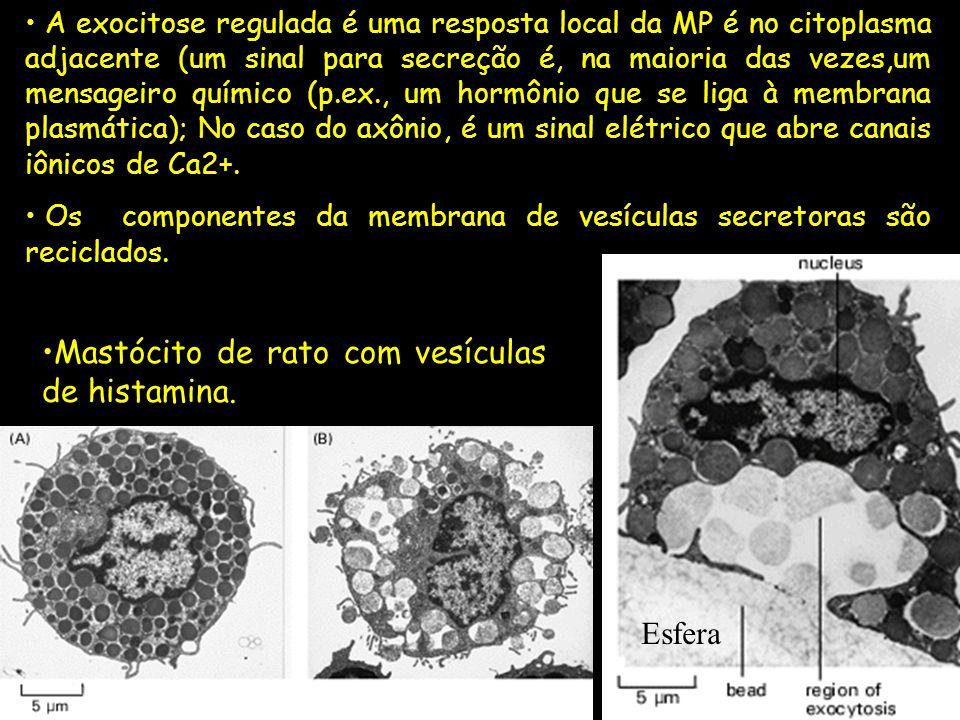 A exocitose regulada é uma resposta local da MP é no citoplasma adjacente (um sinal para secreção é, na maioria das vezes,um mensageiro químico (p.ex.