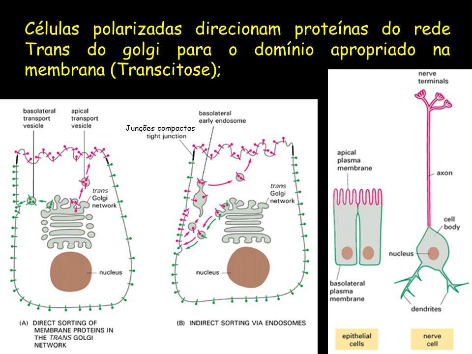 Células polarizadas direcionam proteínas do rede Trans do golgi para o domínio apropriado na membrana (Transcitose); Junções compactas