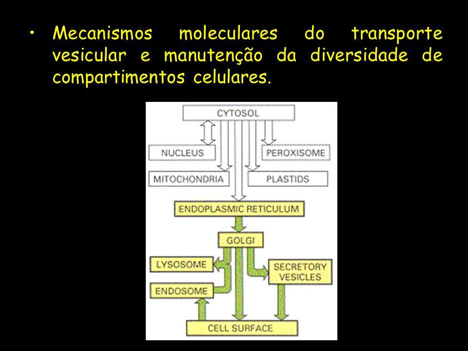 Mecanismos moleculares do transporte vesicular e manutenção da diversidade de compartimentos celulares.