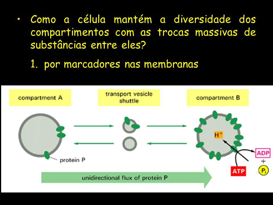 Como a célula mantém a diversidade dos compartimentos com as trocas massivas de substâncias entre eles? 1.por marcadores nas membranas
