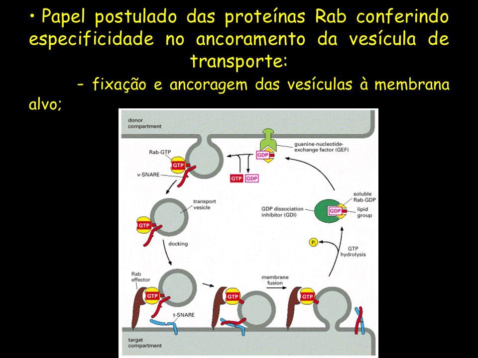 Papel postulado das proteínas Rab conferindo especificidade no ancoramento da vesícula de transporte: - fixação e ancoragem das vesículas à membrana a