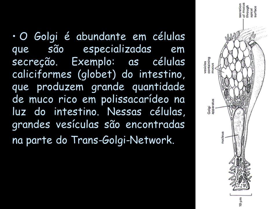 O Golgi é abundante em células que são especializadas em secreção. Exemplo: as células caliciformes (globet) do intestino, que produzem grande quantid