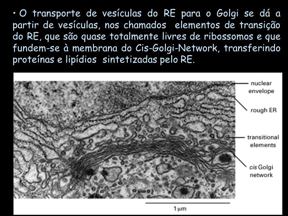 O transporte de vesículas do RE para o Golgi se dá a partir de vesículas, nos chamados elementos de transição do RE, que são quase totalmente livres d