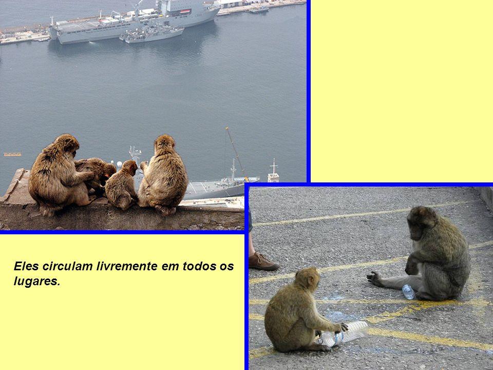 . Os macacos (Sylvanus) não possuem cauda e são os únicos macacos na Europa que andam livres no seu ambiente.
