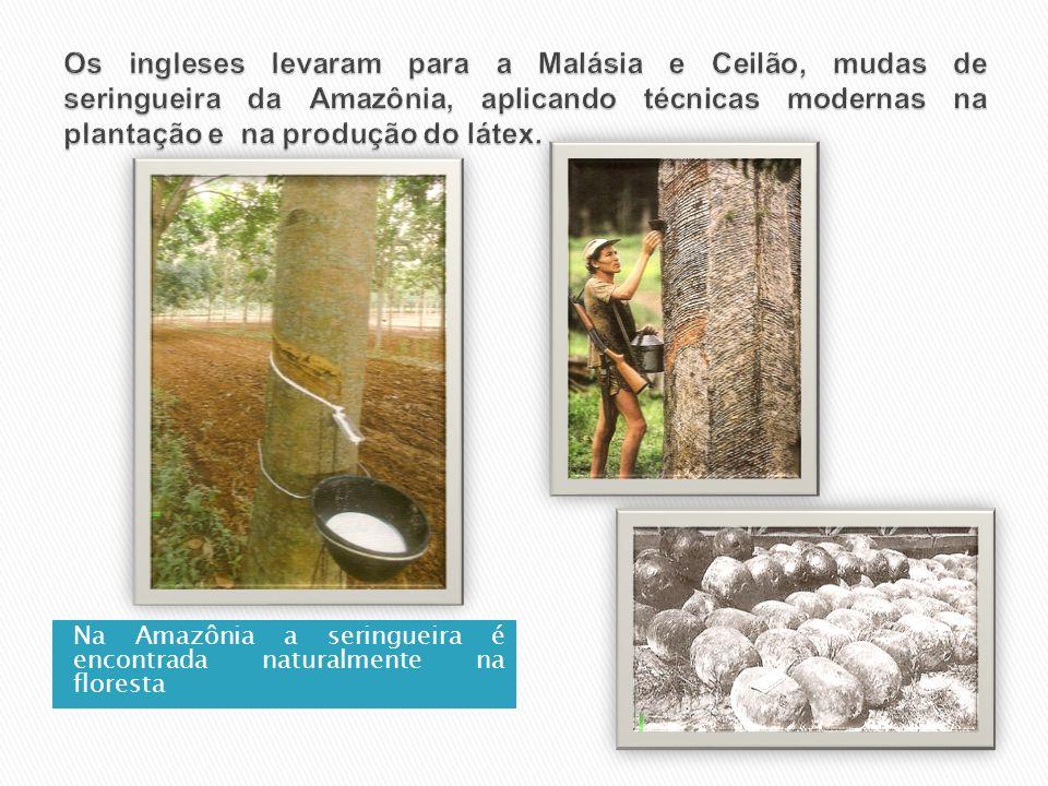 Na Amazônia a seringueira é encontrada naturalmente na floresta