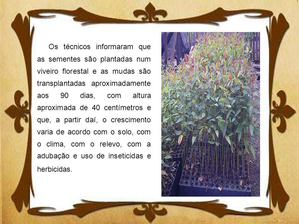 Os técnicos informaram que as sementes são plantadas num viveiro florestal e as mudas são transplantadas aproximadamente aos 90 dias, com altura aprox