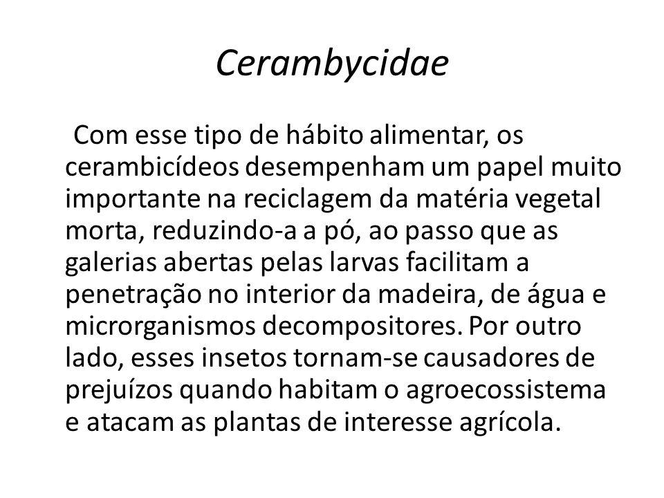 Cerambycidae Com esse tipo de hábito alimentar, os cerambicídeos desempenham um papel muito importante na reciclagem da matéria vegetal morta, reduzin