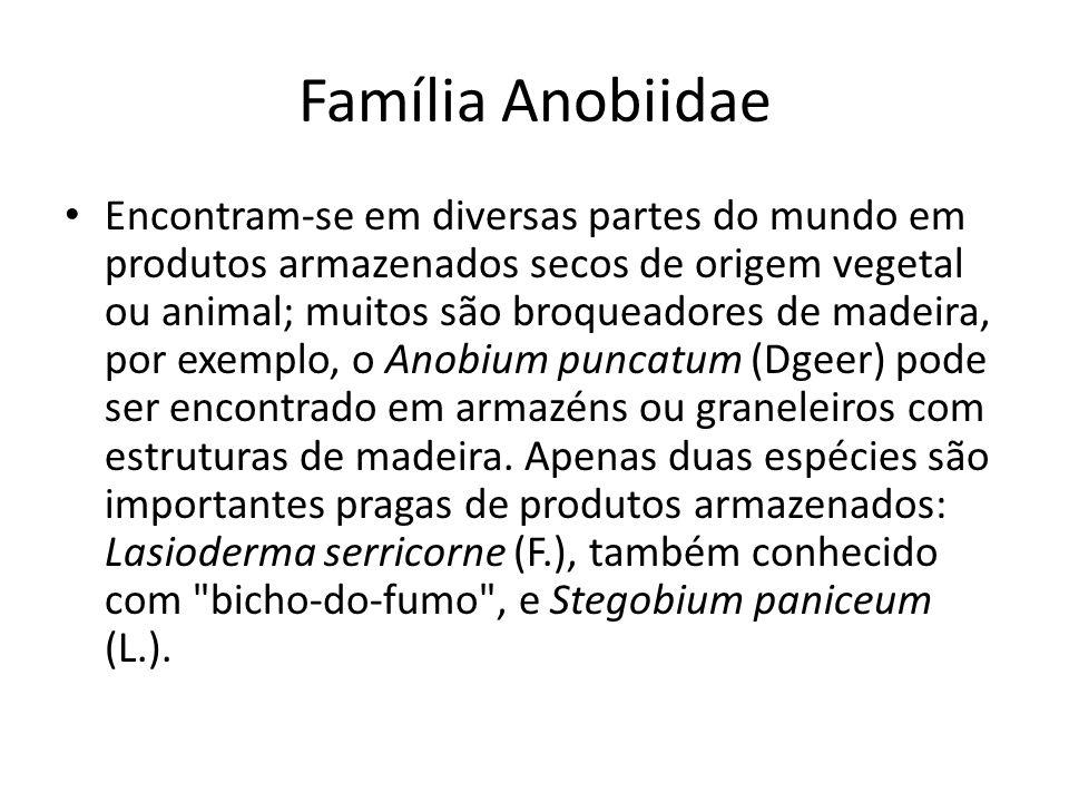 Família Anobiidae Encontram-se em diversas partes do mundo em produtos armazenados secos de origem vegetal ou animal; muitos são broqueadores de madei