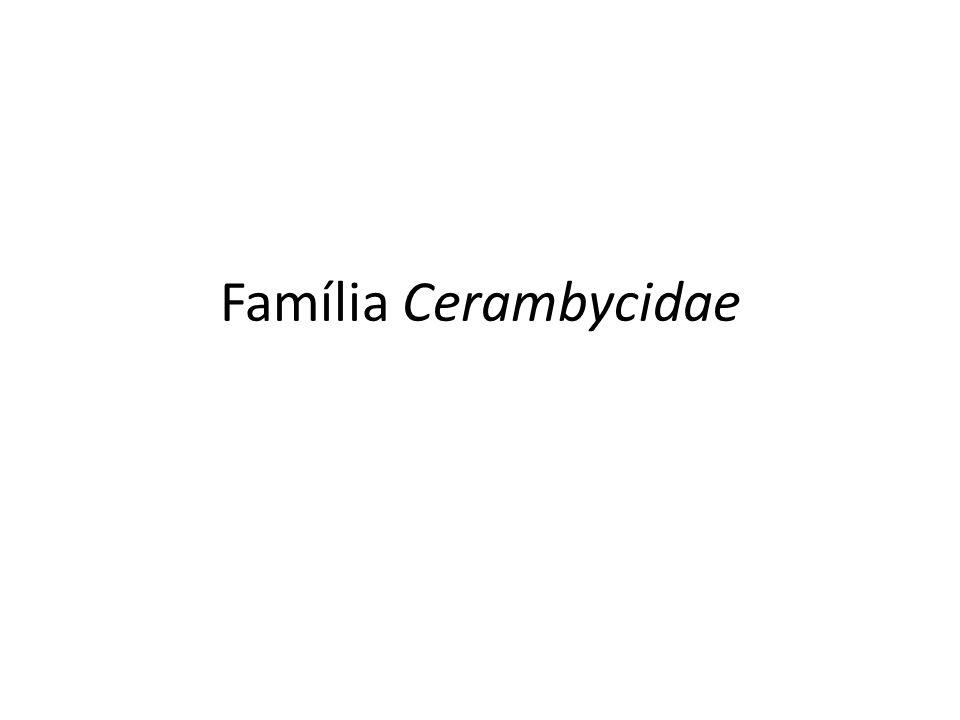 Cerambycidae Essa família constituem um dos maiores grupos de coleóptera, com aproximadamente 35.000 espécies descritas no mundo.