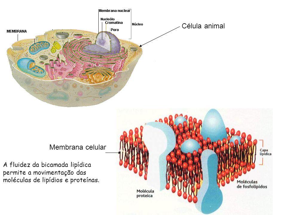 Célula animal Membrana celular A fluidez da bicamada lipídica permite a movimentação das moléculas de lipídios e proteínas.