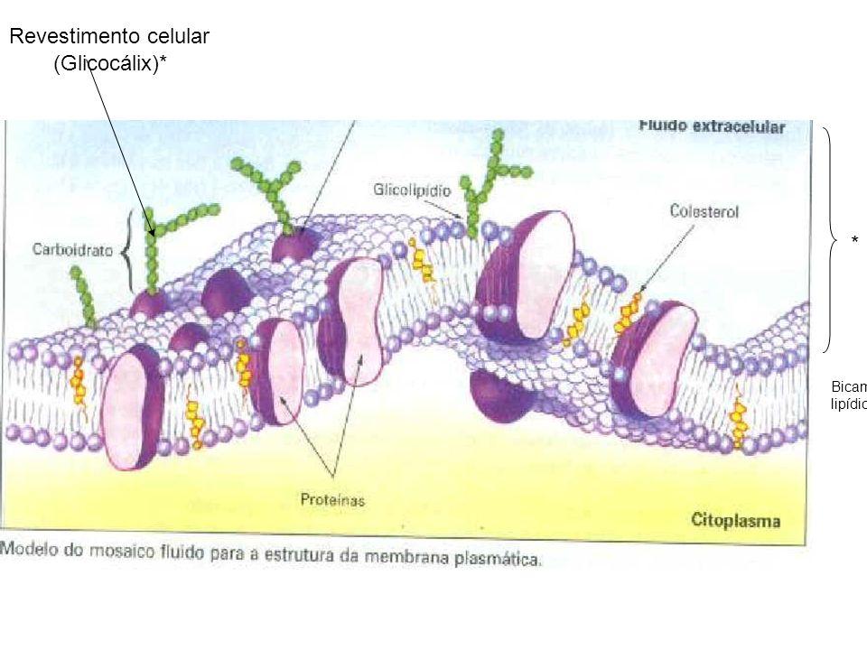 (Glicocálix)* Revestimento celular Bicamada lipídica *