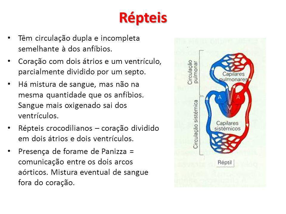 Têm circulação dupla e incompleta semelhante à dos anfíbios. Coração com dois átrios e um ventrículo, parcialmente dividido por um septo. Há mistura d