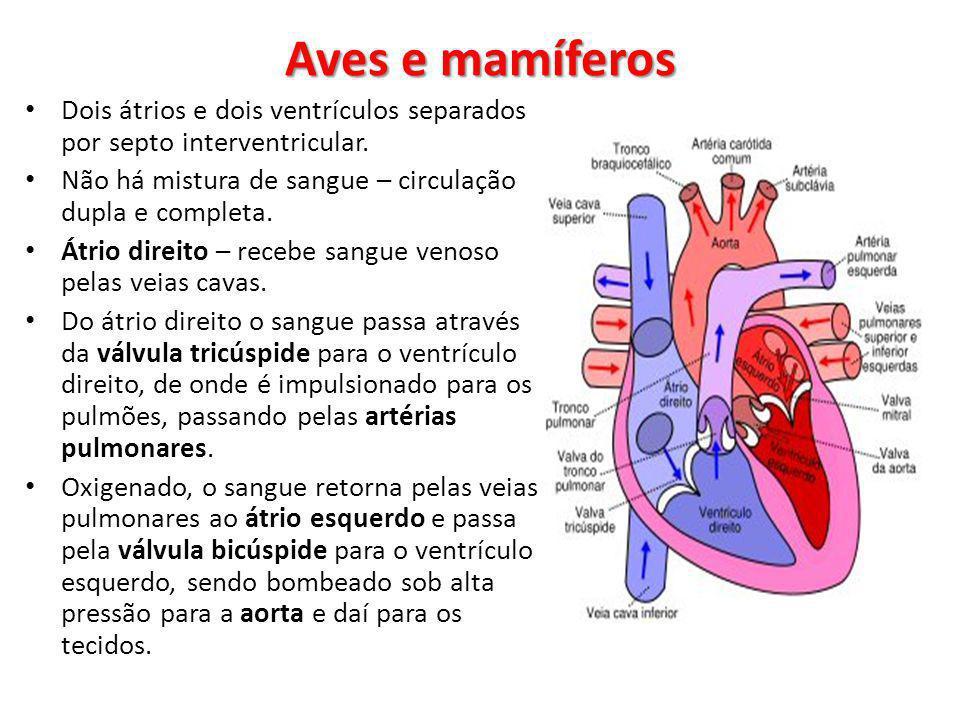 Dois átrios e dois ventrículos separados por septo interventricular. Não há mistura de sangue – circulação dupla e completa. Átrio direito – recebe sa