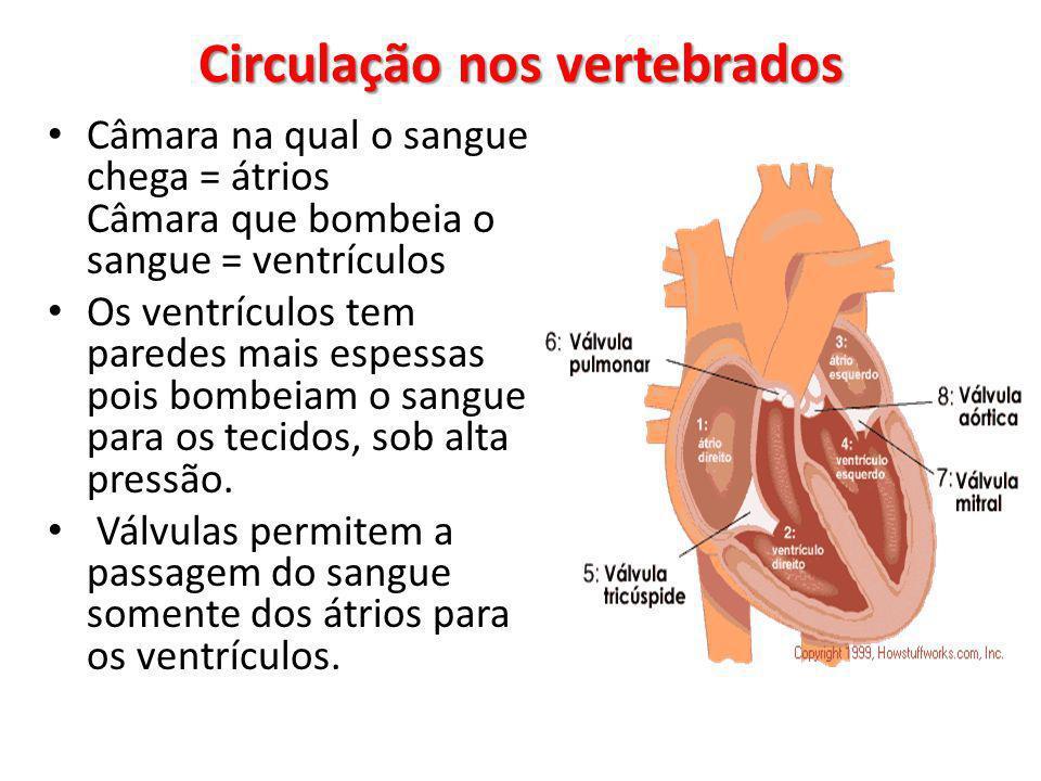Circulação nos vertebrados Câmara na qual o sangue chega = átrios Câmara que bombeia o sangue = ventrículos Os ventrículos tem paredes mais espessas pois bombeiam o sangue para os tecidos, sob alta pressão.