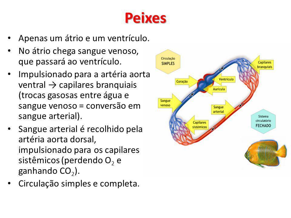 Apenas um átrio e um ventrículo. No átrio chega sangue venoso, que passará ao ventrículo. Impulsionado para a artéria aorta ventral capilares branquia