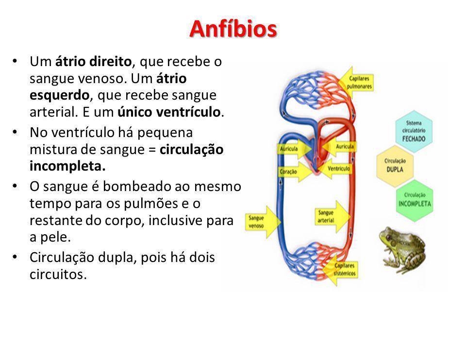 Um átrio direito, que recebe o sangue venoso. Um átrio esquerdo, que recebe sangue arterial. E um único ventrículo. No ventrículo há pequena mistura d